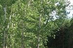 Vernon wastewater-irrigated poplar