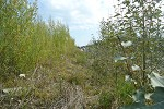 Willow and hybrid poplar on mine waste slope