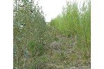 Hybrid poplar and willow on mine waste