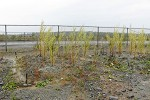 Willow planted on acidic mine waste